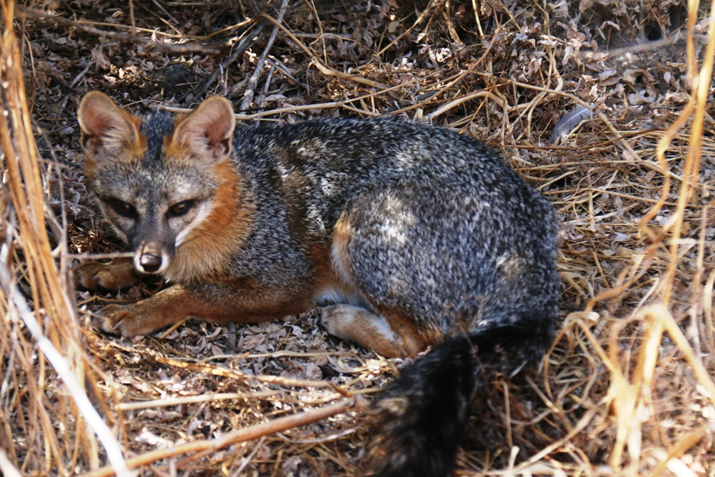 08 28 2015 004 Gray fox juvenile female Pale